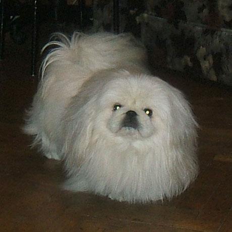 пекинес белый фото